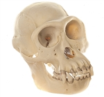 SOMSO Skull of Chimpanzee (Male) | SOMSO Skull of Male Chimpanzee