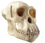SOMSO Artificial Skull of a Chimpanzee in 3 Parts - ZoS53-107