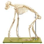 SOMSO Artificial Skeleton of a Chimpanzee