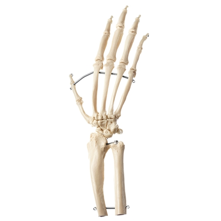 SOMSO Artificial Hand Skeleton of a Chimpanzee - ZoS53-131