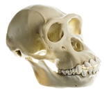 SOMSO Skull of a Chimpanzee (Female) - ZoS53-2