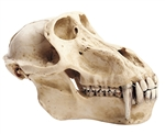 SOMSO Skull of Baboon (Male) - ZoS53-3