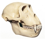 SOMSO Skull of a Rhesus-Ape (male)