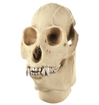 SOMSO Skull of Howling Monkey, Male
