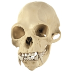 SOMSO Skull of a Gibbon, Male - ZoS53-7