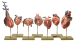 SOMSO Models of the Hearts of Vertebrates