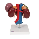 Kidneys with rear organs of the upper abdomen, 3-part k22-3