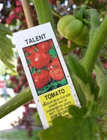 2019 Heirloom Talent Tomato in gallon container