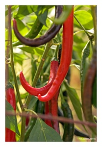 Fine Art Giclee Print - 'Cayenne Peppers'