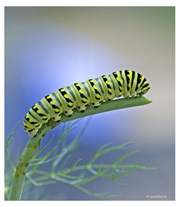Fine Art Giclee Print - 'Swallowtail Caterpillar'