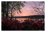 Fine Art Giclee Print - 'Lake Sunset Azaleas'