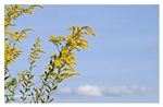 Fine Art Giclee Print - 'Blue Skies and Goldenrod'