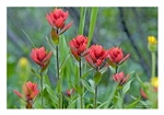 Fine Art Giclee Print - 'Indian Paintbrush on Fire!'