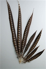 "Lady Amherst Pheasant Tails 20""-30"" Side"