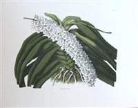 Orchid Aerides William sii., Vintage Botanical Print
