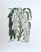 Orchid Print Aerides Nobile