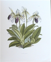 Orchid Cypripedium Superiens Lithographic Print