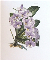 Orchid Phalaenopsis Schilleriana Lithographic Print
