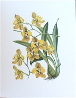 Yellow Orchid I Botanical Print