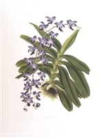 Orchid Aerides Crassifol Lithographic Print