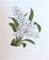 Orchid Odontoglossum Pescatorei Lithographic Print
