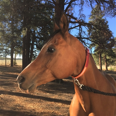 BioThane Beta Equine Neck Collar.  Comfortable. No Rub. Image shows a horse which is on a horse trailer high line
