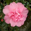 Camellia williamsii hybrid Mary Phoebe Taylor