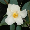 Camellia hybrid Cornish Snow 'Michael'
