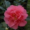 Camellia williamsii hybrid Elegant Beauty
