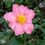 Camellia hybrid Pink Granthamiana