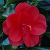 Camellia japonica Red Hots