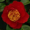 Camellia williamsii hybrid Rendezvous