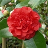 camellia hybrid Ruby Wedding