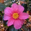 Camellia hybrid Winter's Fire