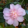 Camellia hybrid Winter's Interlude