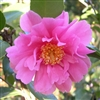 Camellia hybrid Winter's Joy