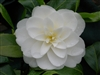 camellia japonica Witmans Yellow