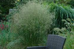 Deschampsia Mill End