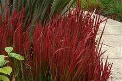Imperata cylindrica Rubra  (Red Baron)
