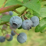 Blueberry Coville