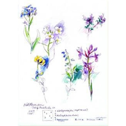 Sketches of wildflowers found in the pastures of Dolina Chocholówska, in the Tatra Mountains of southern Poland.