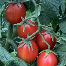 All Meat Heirloom Tomato Seeds