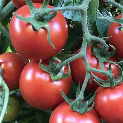 Amy's Sugar Gem Tomato Seeds