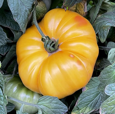 arkansas marvel heirloom tomato seeds. Black Bedroom Furniture Sets. Home Design Ideas