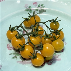Aunt Ruby's Yellow Cherry Tomato