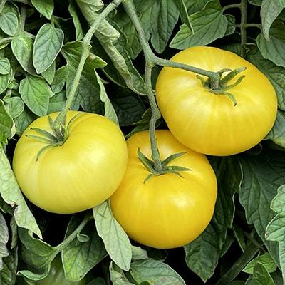 Azoychka Tomato Heirloom Tomato Seeds