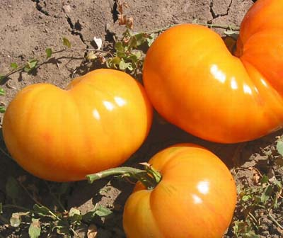 Big Orange Stripe Heirloom Tomato