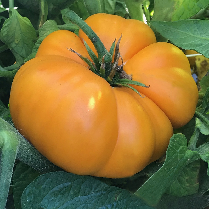 Brandywine, Yellow Heirloom Tomato Seeds