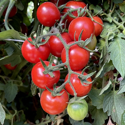 Tomato seeds Chadwick Cherry Qty 25 Fresh seeds 2018
