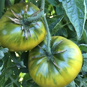 Cherokee Green Heirloom Tomato